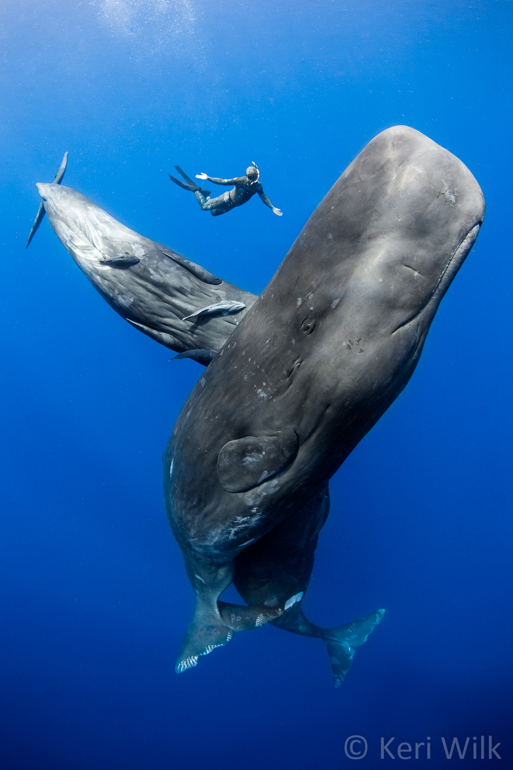 Sperm Whales – Most Beautiful Picture