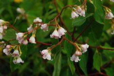 Dogbane Plants | LoveToKnow