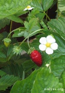 Wild Strawberries | LoveToKnow