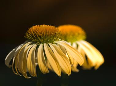 Echinacea Sunrise Plants | LoveToKnow