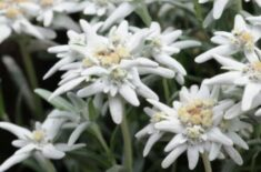 Edelweiss | LoveToKnow