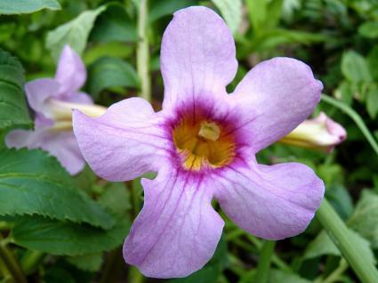 Perennial Trumpet Flowers | LoveToKnow