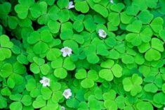 Wood Sorrel | LoveToKnow