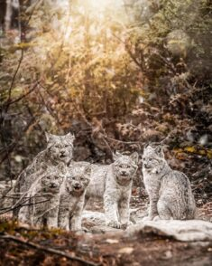Lynx Family in Charlevoix, Quebec, Canada