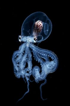 Rare Octopus With Transparent Head Caught by Blackwater Photographer