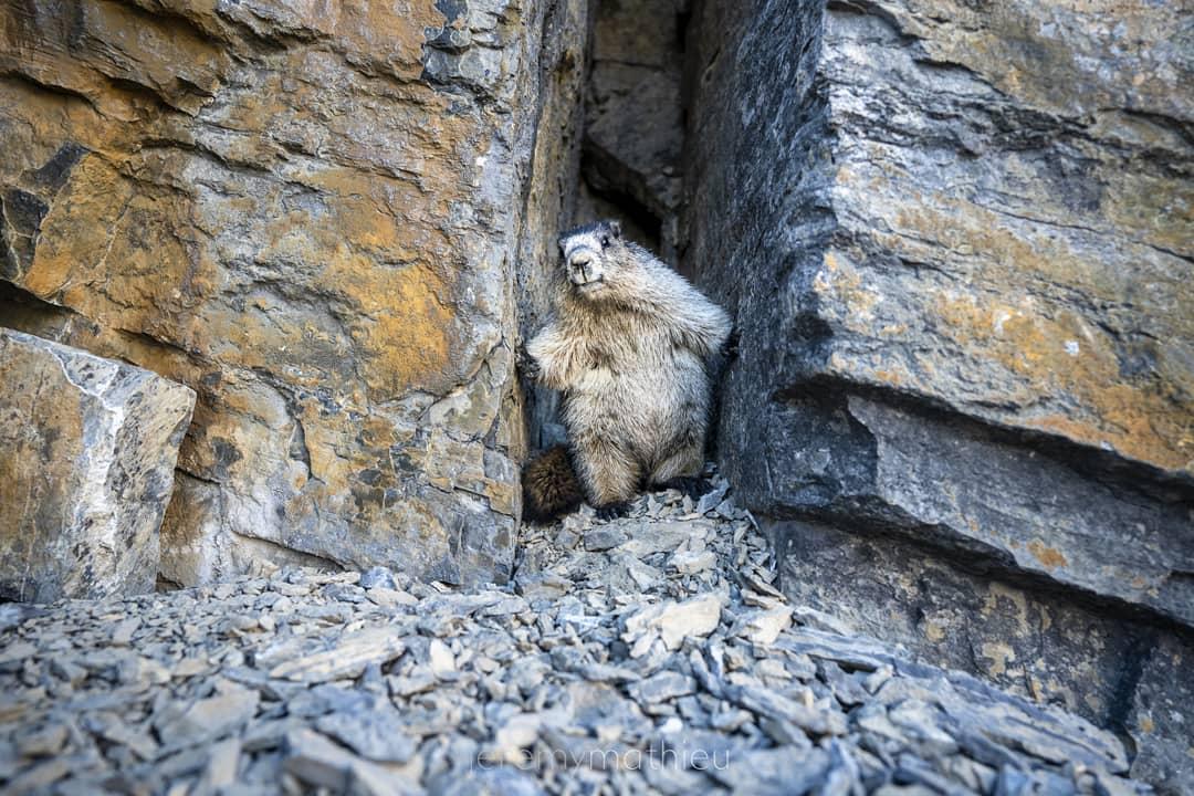 Hoary marmot