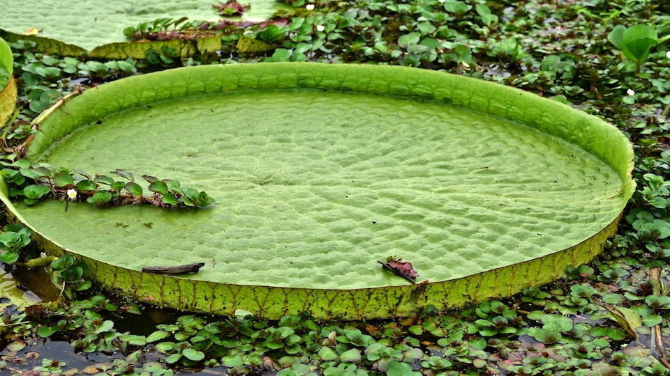 Giant water lily flowers