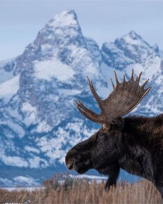 Elk, Grand Teton National Park, Wyoming