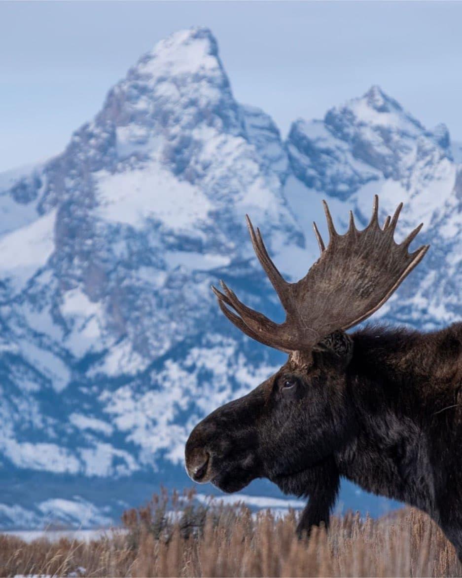 Elk, Grand Teton National Park, Wyoming