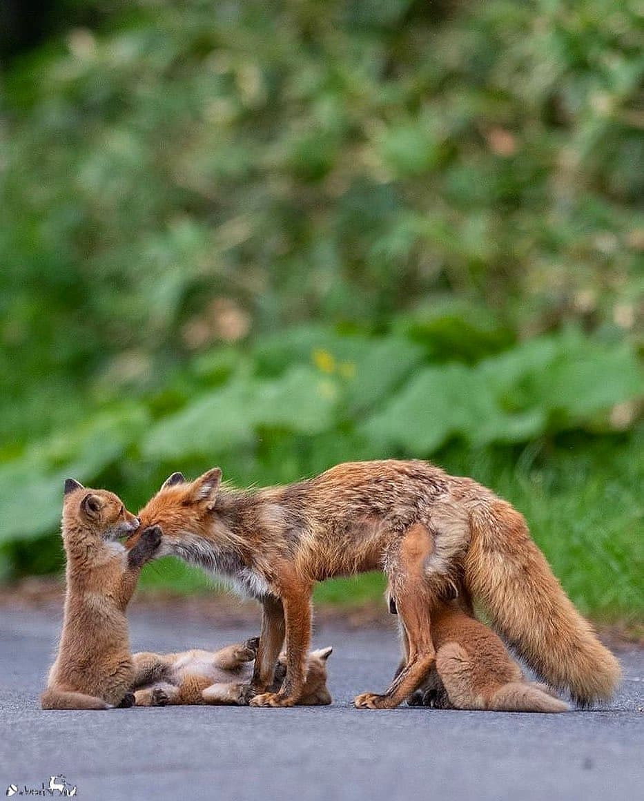 Foxes in India