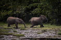 Forest Elephants in Odzala-Kokoua National Park, Congo