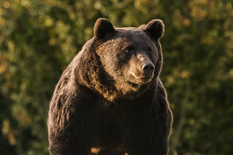 Arthur, 17 years old Romanian Bear
