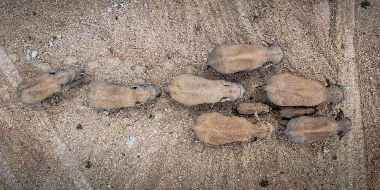 La grande vadrouille d'un troupeau d'éléphants àtravers la Chine