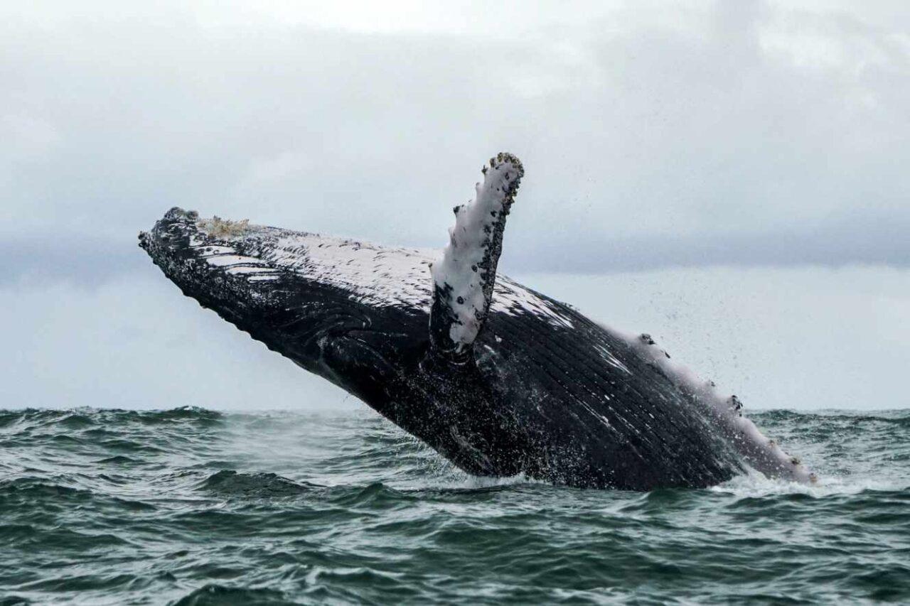 Humpback Whale, Uramba Bahia Malaga National Park, Colombia