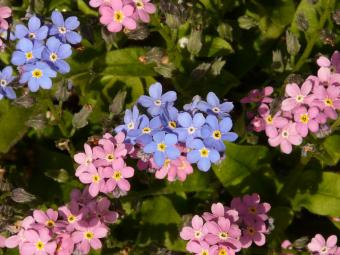 Forget-me-Not   LoveToKnow